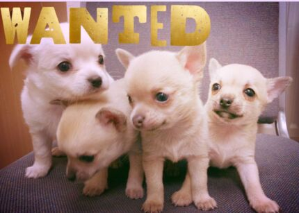Wanted: WANTED : Small breed puppy for xmas