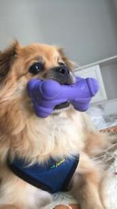 "Adult Male Dog - Pomeranian: ""Puddles"""
