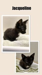 "Baby Female Cat - Domestic Short Hair: ""Jacqueline"""