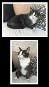 """Adult Male Cat - Domestic Short Hair-Tabby: """"Patches"""""""