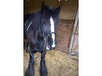 14.2h black mare cob