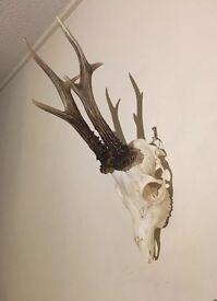 Large roe deer skull taxidermy art