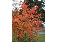 5 ft Snowy Mespilus Serviceberry Juneberry flowering tree shrub bush plant with berries
