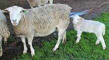 girl lamb and ewe for sale Springton Barossa Area Preview
