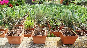 Mini bonsai ulivo in vaso di terracotta 9x9 ebay for Bonsai di ulivo