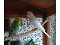 Male & Female Budgies & Large Cage For Sale.