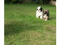 2 lhasa apso boy puppies