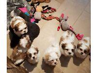 Poochon X Shih-Tzu Puppies