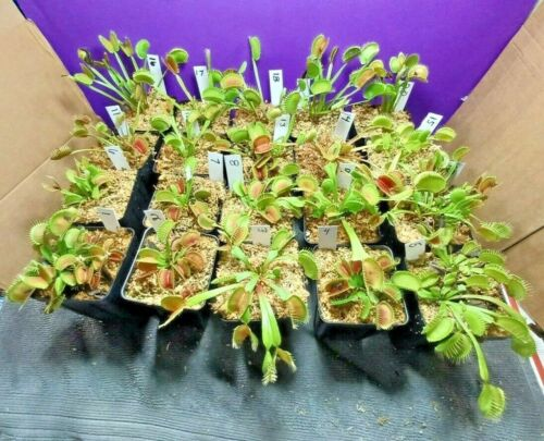 Venus Flytrap PICK YOUR OWN Unique Seed-Grown Dionaea Carnivorous Plant