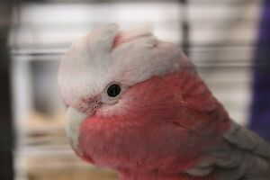 Asher the female rescued galah. Uarbry Warrumbungle Area Preview