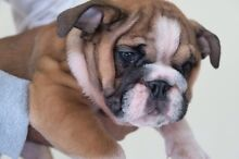 PUREBRED BRITISH BULLDOG PUPPIES!! Sydney City Inner Sydney Preview