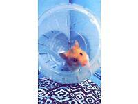 11 week old hamster