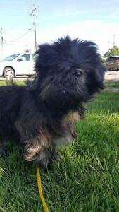 "Senior Male Dog - Shih Tzu: ""Wicket"""