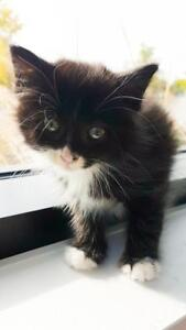 "Baby Male Cat - Domestic Medium Hair (Black): ""Grover"""