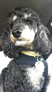 """Young Male Dog - Poodle: """"Monty"""""""