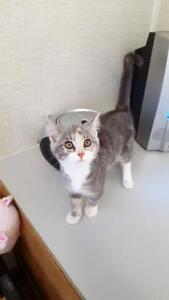 Young Female  - Domestic Short Hair (Gray & White)