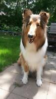 """Young Female Dog - Collie: """"Sunny"""""""
