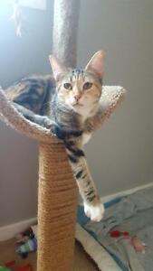 "Adult Female Cat - Torbie-Domestic Short Hair: ""Linda"""