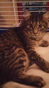 Young Female  - Domestic Long Hair-black-Tabby - black West Island Greater Montréal image 3
