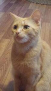 "Young Female Cat - Domestic Short Hair (Orange): ""Winnie"""