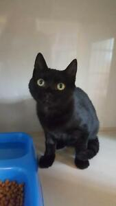 "Young Male Cat - Domestic Short Hair: ""Shadow"""