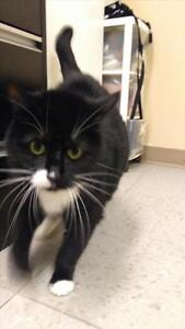 "Adult Female Cat - Domestic Short Hair: ""Zoey"""
