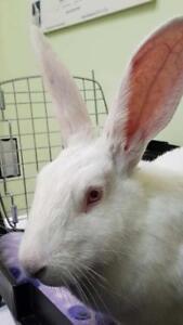 "Adult Female Rabbit - New Zealand: ""Ghost"""