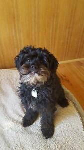 "Adult Male Dog - Poodle-Shih Tzu: ""Boyd-adopted"""