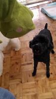 """Adult Female Dog - Poodle: """"nikki"""""""