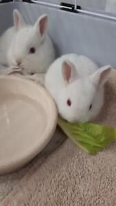 "Baby Male Rabbit - Florida White: ""Bunnies"""