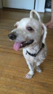 "Young Male Dog - Poodle: ""Elmer"""