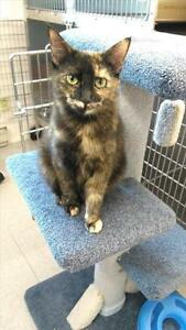 "Young Female Cat - Domestic Medium Hair: ""Meadow"""