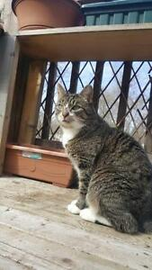 "Adult Female Cat - Tabby - Grey: ""Chloe"""
