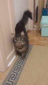 Young Female  - Domestic Long Hair (Black)-Tabby (Black)