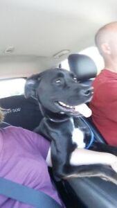 """Young Female Dog - Labrador Retriever: """"zoe"""""""