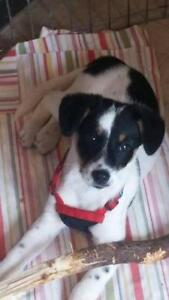 "Young Female Dog - Jack Russell Terrier: ""Gemma"""