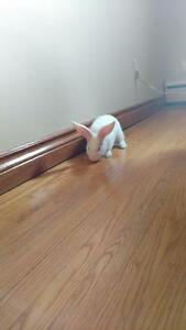 "Adult Male Rabbit - New Zealand: ""Luke Skyhopper"""