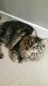 "Adult Male Cat - Domestic Medium Hair-Tabby - Brown: ""Hunter"""