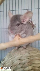 "Senior Male Small & Furry - Chinchilla: ""Speedy"""
