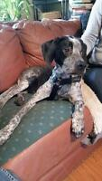 """Young Male Dog - German Shorthaired Pointer: """"Fernando"""""""