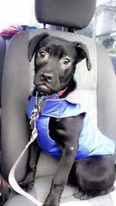"Baby Female Dog - Labrador Retriever-Pit Bull Terrier: ""Rosie"""