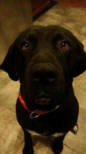 "Adult Male Dog - Labrador Retriever-Bullmastiff: ""Bo"""