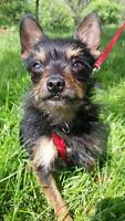 """Young Male Dog - Terrier: """"Louie"""""""