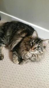 "Adult Male Cat - Domestic Medium Hair-Tabby (Brown): ""Hunter"""