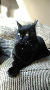 "Adult Male Cat - Domestic Short Hair-black: ""Mordicus"" Kawartha Lakes Peterborough Area image 1"