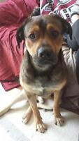 "Adult Male Dog - Boxer: ""Adorable Oscar"""