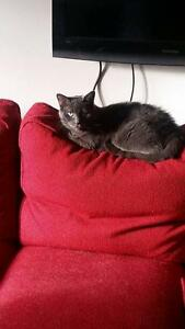 "Senior Female Cat - Domestic Short Hair: ""Nemo"" Cambridge Kitchener Area image 2"