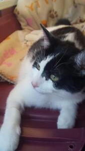 """Young Female Cat - Domestic Short Hair-black and white: """"Hanna"""""""