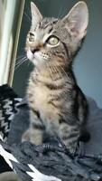 """Baby Male Cat - Domestic Short Hair: """"Anderson"""""""