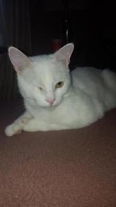 """Young Male Cat - Domestic Short Hair: """"Petey"""""""